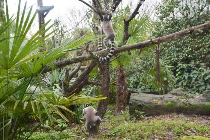 zoo pistoia lemuri
