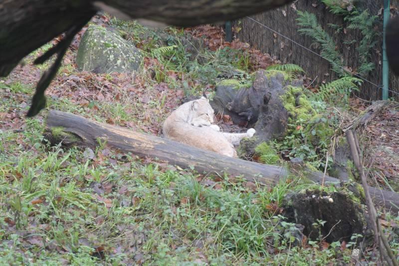 lince zoo di pistoia