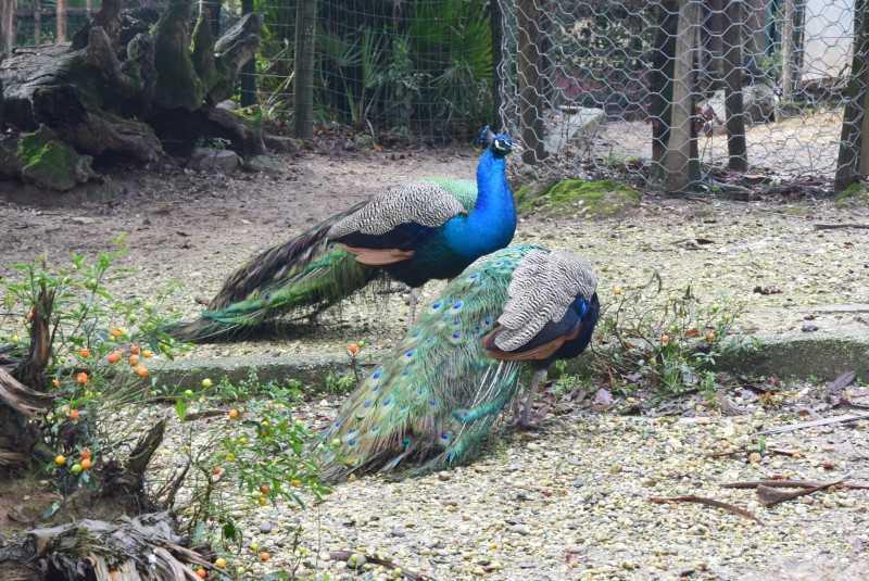 zoo pistoia pavoni