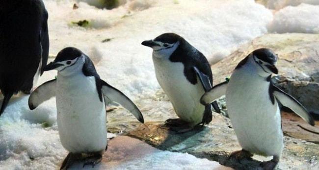 pinguini a faunia il parco naturale di madrid