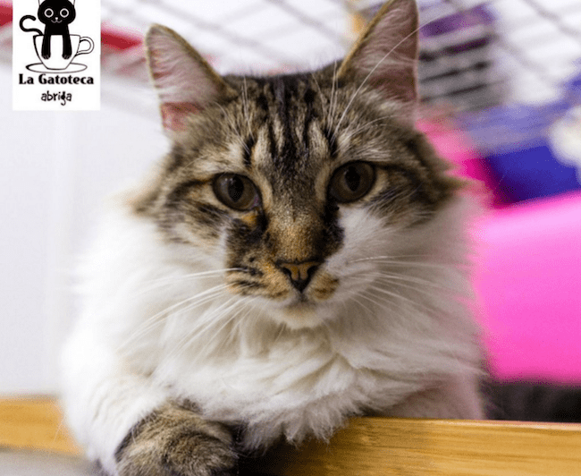 un gatto della gatoteca di madrid